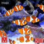 (海水魚 熱帯魚)カクレクマノミ Mサイズ(国産ブリード)(2匹) 北海道・九州航空便要保温