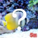 (海水魚)おまかせチョウチョウウオ(5匹) 北海道・九州・沖縄航空便要保温