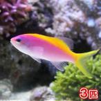 (海水魚)エバンスアンティアス(3匹) 北海道・九州・沖縄航空便要保温