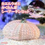 (海水魚)ツースポットブレニー+隠れんぼシーアーチン(1セット)