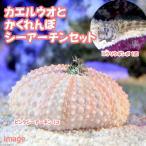 (海水魚)ロウソクギンポ+隠れんぼシーアーチン(1セット) 北海道・九州・沖縄航空便要保温