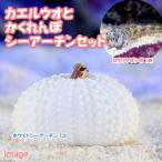 (海水魚)ロウソクギンポ+隠れんぼシーアーチンセットB(1セット) 北海道・九州・沖縄航空便要保温