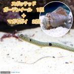 (海水魚)ガーデンイール(1匹) + マガキガイ(2匹) 北海道航空便要保温