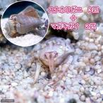 (海水魚)スナホリガニ(3匹) + マガキガイ(2匹) 北海道・九州・沖縄航空便要保温