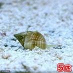 (海水魚)貝 アツムシロガイ 底砂とその他の掃除(5匹) 北海道・九州・沖縄航空便要保温