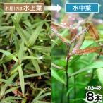 (水草)ポリゴナムsp.ピンク(水上葉)(無農薬)(8本)