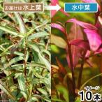 (水草)ポリゴナムsp.レッド(水上葉)(無農薬)(10本)