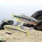 (淡水魚)カワムツ Mサイズ(3匹)