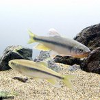 (淡水魚)カワムツ Mサイズ(5匹)
