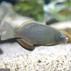 (淡水魚)アブラボテ(4匹)