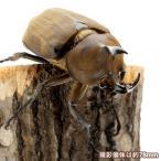 (昆虫)アヌビスゾウカブトムシ ブラジル産 幼虫(3令)(1ペア) 北海道・九州航空便要保温 沖縄別途送料