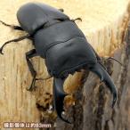 (昆虫)サマールオオヒラタクワガタ フィリピン サマール島産 (WD)80〜84mm(1ペア) 北海道航空便要保温