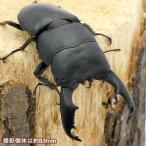 (昆虫)レイテオオヒラタクワガタ フィリピン レイテ島産 (WD)80〜84mm(1ペア) 北海道航空便要保温