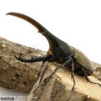 (昆虫)ヘラクレス・ヘラクレス グアドループ産 成虫 オス132mm メス67mm(1ペア) ヘラクレスオオカブトムシ 北海道航空便要保温