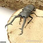 (昆虫)ギラファノコギリクワガタ フローレス産 幼虫(初〜2令)(5匹) 北海道航空便要保温