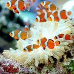 (海水魚 熱帯魚)カクレクマノミ(国産ブリード)(3匹)