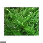 (水草)ウォーターウィステリア(水上葉)(無農薬)(6本)