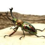 (昆虫)ニジイロクワガタ クィーンズランド産 幼虫(初〜2令)(10匹) 北海道航空便要保温