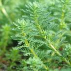 (水草)ミリオフィラムsp.(ガイアナドワーフ)(水上葉)(無農薬)(10本)