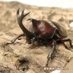 (昆虫)国産カブトムシ 成虫 サイズフリー(10ペア)