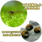 (エビ・貝)コケ対策セット 大型水槽用 ミナミヌマエビ(100匹)+(B品)石巻貝(15匹)