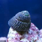 (海水魚 貝 無脊椎)コイソ貝 コケの掃除(3匹)