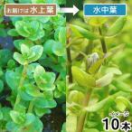 (水草)アラグアイア レッドバコパ(水上葉)(無農薬)(10本) 北海道航空便要保温