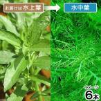 (水草)ハイグロフィラ バルサミカ(水上葉)(無農薬)(6本) 北海道航空便要保温