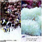 (海水魚)ブラッククラウン(2匹)+シライトイソギンチャクセット 北海道・九州航空便要保温