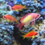 (海水魚)インドキンギョハナダイ ハーレム(オス1+メス3)(1セット) 北海道・九州・沖縄航空便要保温