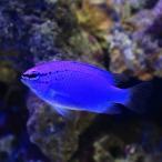 (海水魚)沖縄産 コバルトスズメダイ(3匹) 北海道・九州航空便要保温