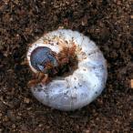 (昆虫)国産カブトムシ 幼虫(2〜3令)(12匹) 北海道航空便要保温