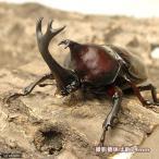 (昆虫)国産カブトムシ 成虫 サイズフリー(5ペア)