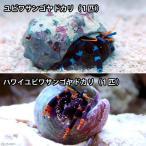 (海水魚 ヤドカリ)指輪ヤドカリセット(1セット) 北海道・九州航空便要保温
