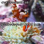 (海水魚 エビ)サンゴイソギンチャク(1匹) +イソギンチャクモエビ(2匹)セット 北海道・九州・沖縄航空便要保温