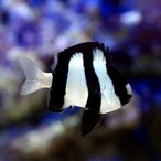 (海水魚)ミスジリュウキュウスズメダイ(3匹) 北海道・九州航空便要保温