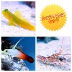 (海水魚)シェアハウスセットA(ギンガハゼ+ハタタテハゼ+ニシキテッポウエビ) 北海道・九州航空便要保温