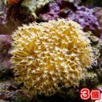 (海水魚 サンゴ)沖縄産 ウミキノコ ロングポリプ Sサイズ(3個) 北海道・九州・沖縄航空便要保温