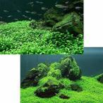 (水草)前景草(無農薬)2種セット グロッソスティグマ(半パック分)+キューバパールグラス キューブL(1個)