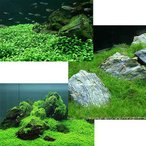 (水草)前景 水上葉(無農薬)3種 グロッソスティグマ(2)+キューバパールグラス(2)+ヘアーグラス ショート(2)