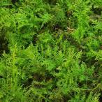 (観葉植物)苔 半トレー シノブゴケ トレー1枚分 36×27cm