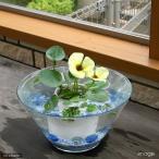 (ビオトープ/水辺植物) 窓辺の虞美人草(ぐびじんそう) ウォーターポピーのセット 本州・四国限定