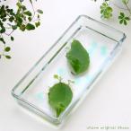 (水辺植物)私の小さなアクアリウム 〜マザーリーフ2枚〜 本州四国限定