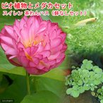 (ビオトープ/睡蓮)ビオ植物とメダカセット 茶わん蓮(チャワンハス) 鉢なしセット 本州・四国限定