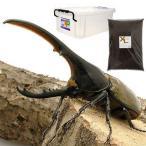 (昆虫)でっかいヘラクレスを作っちゃおうセット(カブトムシ幼虫5匹付)(説明書つき) 外国産カブトムシ 本州・四国限定