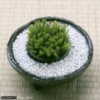 (観葉/苔)私の小さな苔盆栽 〜わびさび益子焼みかげと白砂利〜 本州・四国限定