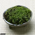 (観葉/苔)私の小さな苔盆栽 〜わびさび益子焼 炭化〜 本州・四国限定