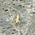 (生餌)ヨーロッパイエコオロギ S 3.0グラム(約90匹) 爬虫類 両生類 大型魚 餌 エサ 北海道・九州航空便要保温