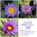 (ビオトープ/睡蓮)おまかせ熱帯性品種睡蓮(スイレン) 青紫系(1ポット)(休眠株)
