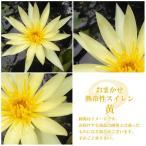 (ビオトープ/睡蓮)おまかせ熱帯性品種睡蓮(スイレン) 黄(1ポット)(休眠株)